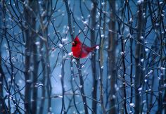 Red Bird by valleyof7winds, via Flickr
