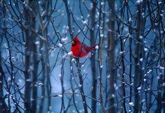 Cardinal~