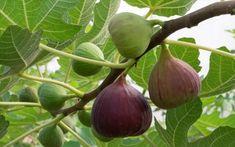 Τα αναρίθμητα οφέλη των φύλλων της συκιάς: Οι θεραπευτικές τους ιδιότητες και πως θα τα χρησιμοποιήσετε.... - Ξυπνήστε ρε Ficus, Indoor Fig Trees, Indoor Plants, Growing Fig Trees, Fig Varieties, Comment Planter, Tree Care, Garden Pictures, Best Fruits