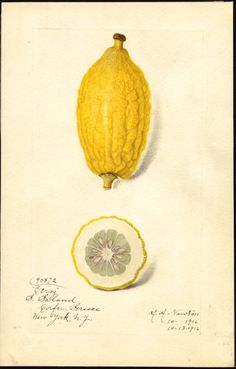 """Citrus limon (lemon) 1916. Watercolour by Amanda Almira Newton (1860-1943). """"U.S. Department of Agriculture Pomological Watercolor Collection. Rare and Special Collections, National Agricultural Library, Beltsville, MD 20705"""""""
