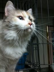 Bella: Ragdoll, mix Cat; Oaks, PA Beautiful blue-eyed Bella appears to be a dilute calico van Ragdoll mix who is absolutely stunning.  She is every bit as friendly as she is pretty, too.  She's roughly 4 years old and needs a warm place to call her own.  She's good with other cats.