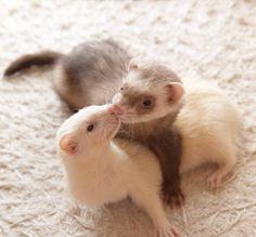Baby Ferrets, Funny Ferrets, Pet Ferret, Cute Creatures, Beautiful Creatures, Animals Beautiful, Cute Little Animals, Cute Funny Animals, Exotic Pets