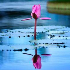 ♥Oh, how Beautiful Beautiful Space, How Beautiful, Beautiful Flowers, Beautiful Things, White Lotus, Blue Lotus, Sacred Lotus, Overcome The World, Hermann Hesse