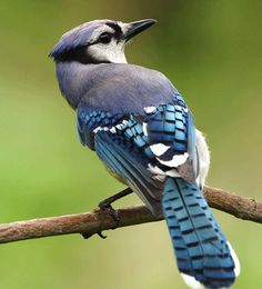 Uccello, Blu, Cristata, Cyanocitta, Jay, Uccelli