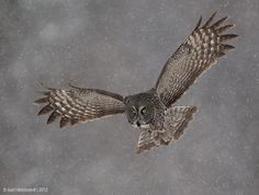 Great Gray Owl in Snow by Axel Hildebrandt, via 500px