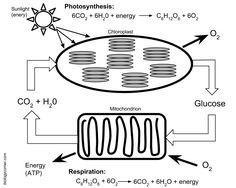 Chart comparing photosynthesis to respiration--this image is also ...