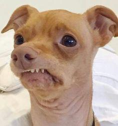 High quality tuna the dog blank meme template. Love Dogs, Puppy Love, Dog With Braces, Tuna Dog, Funny Animals, Cute Animals, Animal Memes, Dog Crossbreeds, Cutest Dog Ever