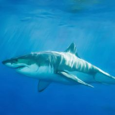 The largest shark ever to swim the earth's oceans is the megalodon. Based on its giant-sized teeth, researchers believe this now extinct shark grew to about 50 feet in length. Shark Week, Shark S, Shark Pictures, Shark Photos, Megalodon, The Great White, Great White Shark, Underwater Fish, Family Events