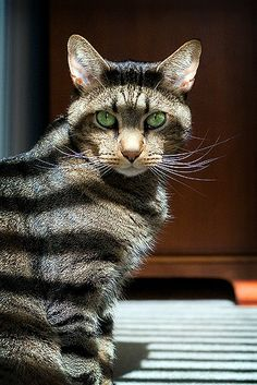 Cat impersonating a raccoon ?