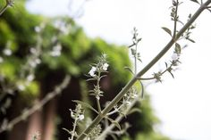 White sage blooms and foliage both have a savory, earthy scent.