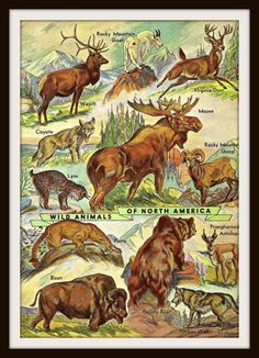 Wild Animals Art Print - Wild Animals of North America - Moose, Bison, Wolf - 1950s Vintage Book Plate Art - Buy 2 Prints, Get a 3rd Free
