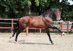 Ukrainian Riding Horse stallion Мачо (Macho)