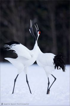 Cranes #Hokkaido #JapanWeek Subscribe today to our newsletter for a chance to win a trip to Japan http://japanweek.us/news Like us on Facebook: https://www.facebook.com/JapanWeekNY