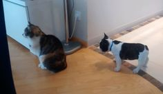 French bulldog tries REALLY hard to get the cat's attention Excited Puppy, Pet Dogs, Dog Cat, Poster Store, The Force Is Strong, Really Hard, Hard To Get, Cat Gif, Cool Photos