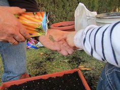 Sembrando zanahorias en jardineras .. http://www.elangreen.com/producto.php?codigo=ecologicos-zanahorias-656101