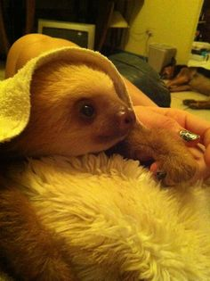 I could just cuddle with this sloth all day. Cute Funny Animals, Cute Baby Animals, Animals And Pets, Wild Animals, Cute Baby Sloths, Baby Otters, Cute Sloth Pictures, Animal Photography, Wildlife Photography