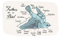 """Among the hundreds of illustrations in Julia Rothman's """"Nature Anatomy"""" are diagrams detailing the different types of feathers on a bird. Excerpted from """"Nature Anatomy"""" by Julia Rothman. Used with permission of Storey Publishing"""