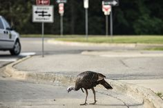 We all know and love those Michigan squirrels, but did you know the infamous North Campus turkey is potentially aggressive and on the loose? Take caution, Wolverines!