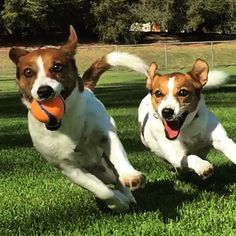 Jack Russells  LUCY HAS A BALL JUST LIKE THIS AND SHE LOVES IT SO MUCH
