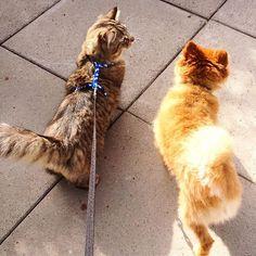 The walkie buds  #hodorthecat #basilthedog #pom #tabby #walkies #furriends #pawpals #catonaleash #animalsofig #petoftheday #kittylove #puppylove #pomeraniansofinstagram #tabbycatsofinstagram #catsofinstagram #dogsofinstagram #pooch #kittykat #outdoors #furries #furbaby #fluffydog #floof #petsofinstagram #catsanddogs #animalsofinstagram #catslife #dogslife #woof Cat Leash, Cats Of Instagram, Instagram Posts, Fluffy Dogs, Pomeranian, Puppy Love, Basil, Fur Babies, Dog Cat