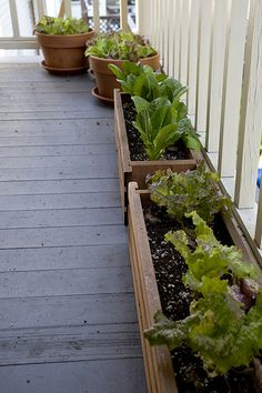 Romaine LETTUCE on the deck. Leaf lettuces grow very quickly and in little space. If you succession plant, sowing seeds every week in a few different planters, you'll create a supply of greens that will be ready in a steady stream all summer. Greens like these are also good for sheltered decks or patios that don't get much sun, since lettuce doesn't like a lot of heat and will grow better during the summer in cool shade