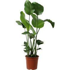 Veel ruimte in huis? Ga voor één van deze 5 grote kamerplanten! - Alles om van je huis je Thuis te maken   HomeDeco.nl