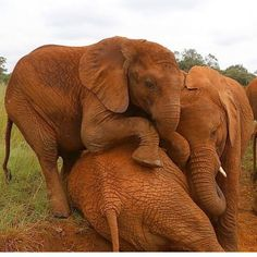 "linda_esposito_: ""Did you know...? Elephants are highly sensitive and caring animals. When a baby elephant cries the entire family will touch and caress it. Elephants express grief compassion altruism play and even...self-awareness! #elephant #savetheelephants #nature #wildlife #parents #wellness #mentalhealth #therapy #psychology #healthyliving #anxiety #depression #mindfulness #Pasadena #SouthPasadena #happiness : @dswt"""