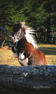 This is the cutest shetland ever