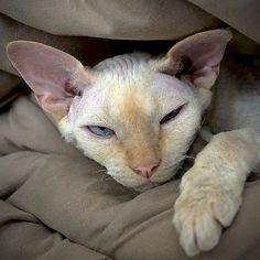 """5"""" x 5"""" Sleepy Devon Rex Cat, Grumpy Oliver, Cream Point Kitty, Fine Art Pet Photography by Glennis Siverson"""