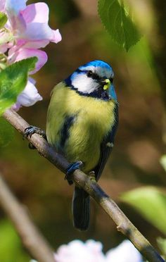 Free Image on Pixabay - Blue Tit, Bird, Blossom Farm Animals, Cute Animals, Blue Tit, How To Attract Birds, Backyard Birds, Garden Birds, Garden Pests, Little Birds, Wild Birds