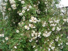 Rose Lykkefund (historisk slyngrose)  , pottet