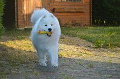 #laïko #samoyede #samoyed #dog