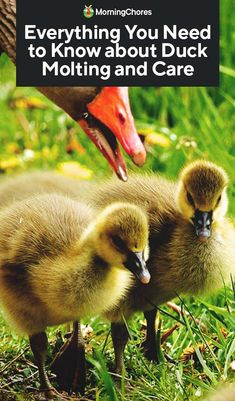 Understanding the molting process of your ducks are not as straighforward as with chickens. We dive into the reasons for duck molting and when to expect it. Raising Ducks, Raising Chickens, Welsh Harlequin Duck, Duck Pens, Duck Duck, Duck House Plans, Duckling Care, Duck Diapers, Duck Breeds