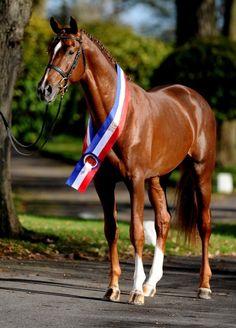 Casaltino 「Casall x Palida」 Holsteiner Stallion