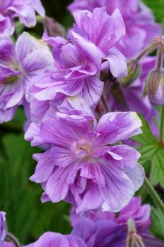 Geranium himalayense Plenum 'Birch's Double'