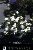Kleim's Hardy Gardenia has star-like single flowers with an intense fragrance appearing most profusely in early summer, sporadically through the season. This extremely hardy selection prefers full sun to light shade. Handsome in containers, for low borders, along walkways where its fragrance can be enjoyed. Evergreen. Slow growing, low mounded form to 2 to 3 feet high and wide. Available in limitted numbers. Shipped potted in soil to ensure the best possible start when planted in yard or garden.