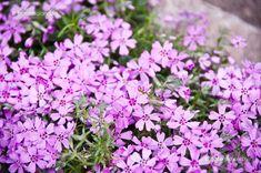 Árlevelű Lángvirág (Phlox Subulata) gondozása, szaporítása Rock Garden, Garden, Plants, Flowers