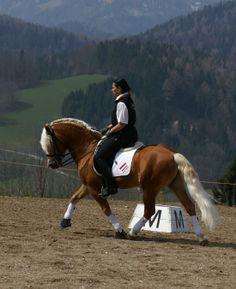 Amethyst - Haflinger stallion