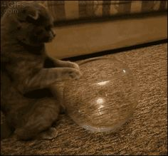 Scottish Fold in a fish bowl!