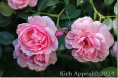 Beautiful roses to cut and bring in the house from http://www.kirbycarespodi.com/ #roses #garden #rosegarden