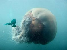 WOW! The Lions Mane Jellyfish is the largest jellyfish in the world. They swim in arctic waters and are among some of the oldest  species in the world.  The largest can come in at about 6 meters and has tentacles over 50 meters long.They have hundreds of poisonous tentacles that it used to catch passing by fish. it then slowly drags in it's prey and eats it.
