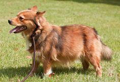 Corgi/Sheltie ah its my two favorite dogs combined! Corgi/Sheltie ah its my two favorite dogs combined! Corgi/Sheltie ah its my two favorite dogs combined! Corgi Cross Breeds, Corgi Breeds, Corgi Dog Breed, Pet Dogs, Pets, Corgi Beagle, Corgi Mix, Mezcla Corgi, Pitbull