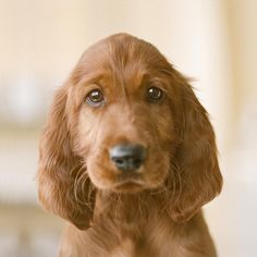 """""""Yes, that's right, you already know I'm a cute puppy. But breed of puppy am I,"""" asked an inquisitive sweet little dog. Try to help him find the answer by unscrambling the letters. Good luck.  S-T-R-I-R-E-E-T-I-S-H."""