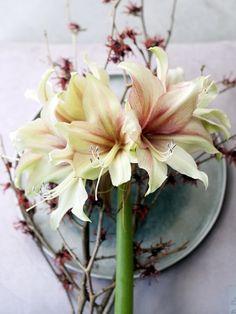 Amaryllis Tollwasblumenmachen