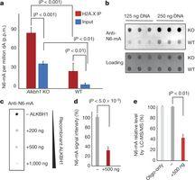 Alkbh1 is a demethylase for N6-mA in ES cells.