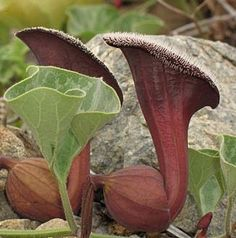 Beautiful tropical tender perennial vine called Aristolochia chilensis