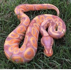 Pretty Snakes, Cool Snakes, Colorful Snakes, Beautiful Snakes, Reptiles And Amphibians, Les Reptiles, Cute Reptiles, Animal Rosa, Beaux Serpents