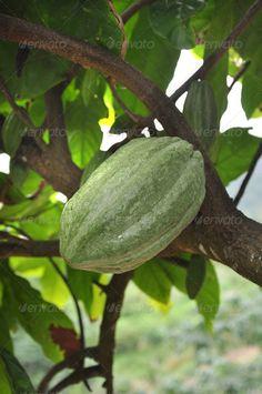Green cacao pod at Dominicana's jungle