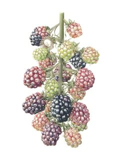 Botanical illustration by J R Shepherd. The art and science of plant illustration, painting and drawing. Watercolor Fruit, Fruit Painting, Watercolor Flowers, Watercolor Paintings, Watercolours, Painting Art, Illustration Botanique, Plant Illustration, Botanical Illustration