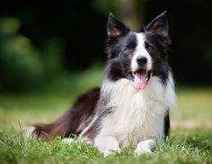 Doe de online puppytest en kom erachter welk hondenras bij jou past! Lees meer over hondenrassen zoals de Border Collie op puppytest.nl